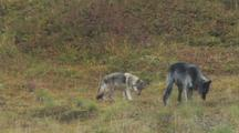 Wolves (Canis Lupus) Smell Grass, Eat Something