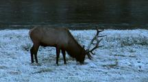A Bull Elk, With Six Point Antlers, Grazes On Snow Covered Grasses Along Side A Flowing River.