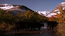 Numerous Black Cows Cross A Shallow Stream Surrounded By Fall Colored Trees And With Snow Covered Mountains In The Distance.