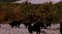 Cowboy Rides Herd In The Snow With Black Angus Cattle.