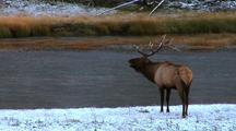 A Bull Elk With Fresh Snow On His Antlers Enters Frame And Bugles, Then Looks Across River.
