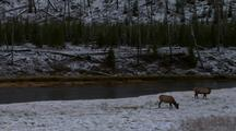 Elk Forage Among The Snow And Forest, Camera Zooms Out Over River To Reveal More Elk Grazing In Snow.