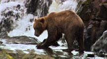 A Grizzly Bear Fishes Near Some Waterfalls. Catching A Salmon, He Eats It On A Nearby Rock.