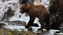A Grizzly Bear Eating Salmon By Waterfalls.
