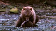Grizzly Bear Eating Salmon In The River.