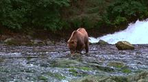 Grizzly Eating Salmon Near Waterfalls, Camera Then Zooms In To Show Detail Shots Of Bear And Salmon.