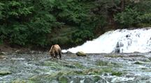 Close Up Of Grizzly Eating Salmon, Camera Then Zooms Out To Show Waterfall And Surrounding Area.