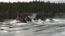Pod Of Humpback Whales Lunge-Feeding And Fin Slapping.