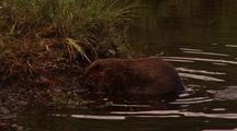 Beaver Collecting Roots