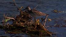 Lesser Yellowlegs Fishing