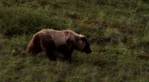 Grizzly Walking Through Grass