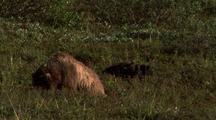 Two Bear Cubs Play While Sow Is Not Looking And Forages For Food