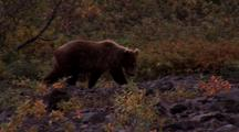 Grizzly Walking Along Creekbed