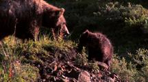 Grizzly Cub Desend Hill With Sibling And Mother