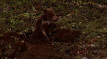 Bear Cub Digs A Hole