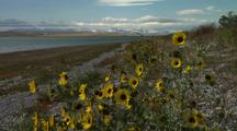 Sunflowers On Riverbank