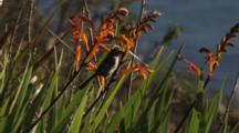 Bushtit On Orange Flowers (Crocosmia?)