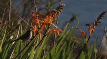 Bushtit On Orange Flowers (Crocosmia?), Flies Away