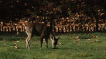 Deer Grazes As Oak Leaves Fall
