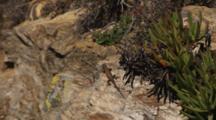 Blue Bellied Lizard On Rock Above Ocean