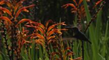 Hummingbird Feeds On Orange Flowers (Crocosmia?)