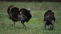 Wild Turkeys Fan Out Tails