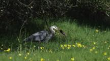 Great Blue Heron Hunts, Grabs, Swallows Gopher