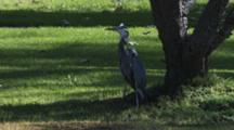 Great Blue Heron Swallows Gopher Already In Throat