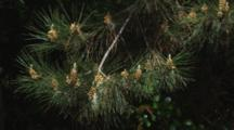 Wind Blows Pollen From Pine Tree In Slow Motion