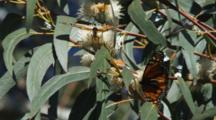 Monarch Butterflies Mating In Tree
