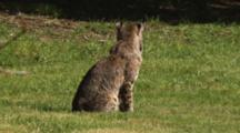 Bobcat Sits In Grass, Walks Away