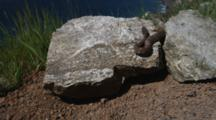 Rattlesnake On Rock Above Ocean