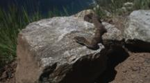Rattlesnake On Rock Above Ocean, Leaves Rock
