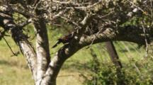 Red Shafted Flicker In Tree, Flies Away