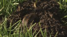 Gopher Moves Dirt From Hole