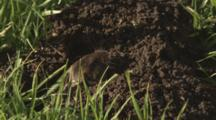 Gopher Moving Dirt From Hole