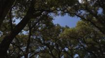 Looking Up At Tops Of Oak Trees