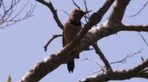 Flicker Flies From Branch To Nest