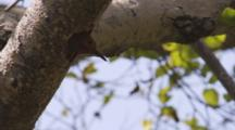 Flicker In Nest Hole In Tree Trunk