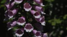 Bumblebee In Foxglove Blooms
