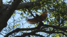Flicker On Branch, Flies To Nest Hole