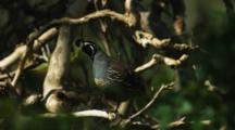 Male Quail Perches In Tree