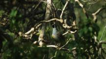 Male Quail Perches In Tree