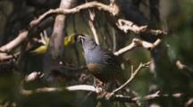 Male Quail Perches In Tree, Flies Away