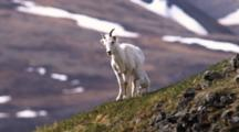 Dall Sheep With Nursing Lamb