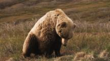 Grizzly Bear Rests On Tundra