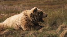 Grizzly Bear Rests On Tundra, Yawns