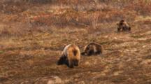Grizzly Bear And Cubs Feed On Tundra