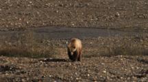 Grizzly Bear Walks Near Stream