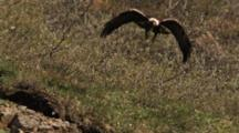 Golden Eagle Lifts Off With Prey In Mouth